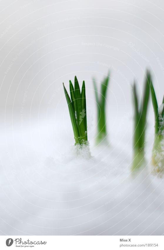 Frühlingserwachen Natur Blume Pflanze kalt Schnee Wiese Makroaufnahme Blüte Gras Frühling Garten Park Eis Wetter frisch Wachstum