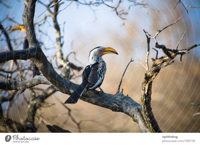 Yellowbilled Hornbill Natur weiß Baum blau Pflanze Sommer schwarz Tier Ferne gelb Freiheit Wärme Landschaft braun Vogel warten