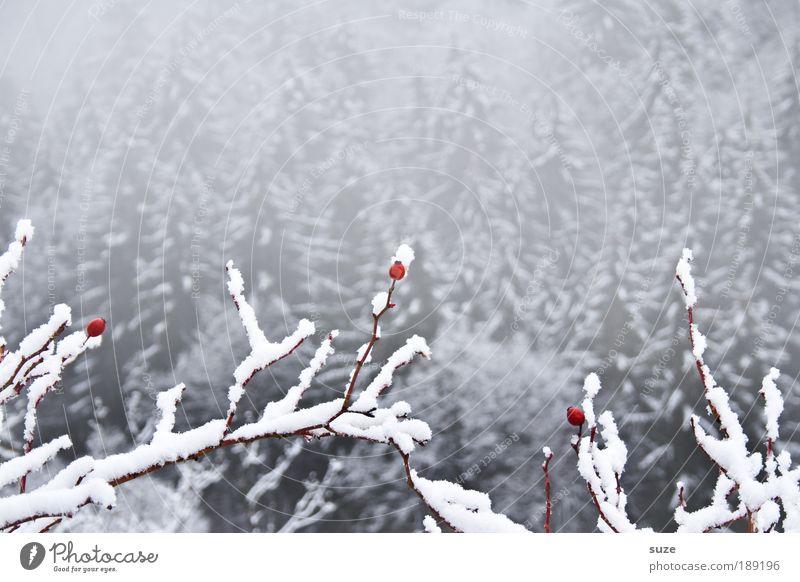 3 Eisbären Umwelt Natur Landschaft Pflanze Winter Klima Nebel Frost Schnee Wald Coolness hell kalt grau weiß Hagebutten Ast Zweig Beeren Schneelandschaft