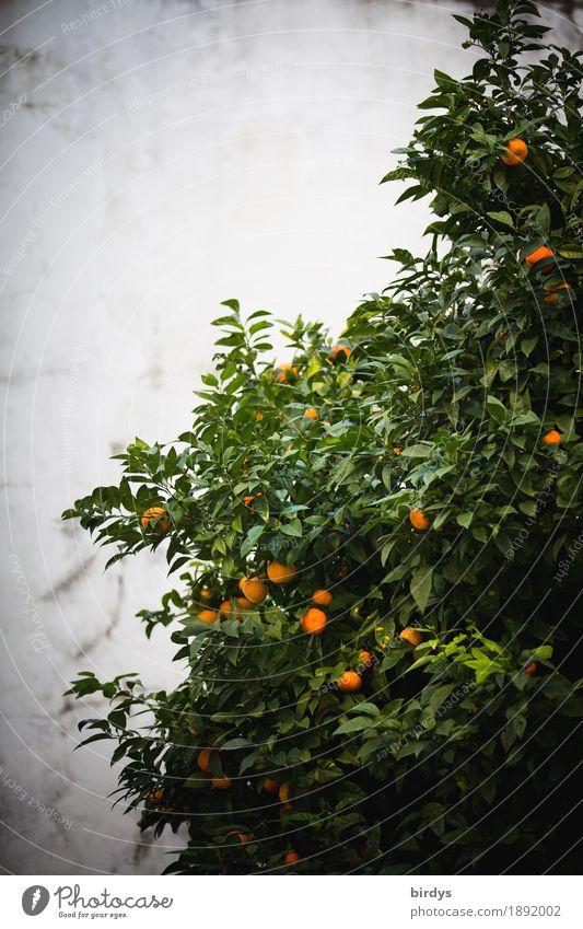 Heute Orangen Lebensmittel Frucht Baum Nutzpflanze Duft Wachstum authentisch frisch Gesundheit lecker positiv saftig süß grau grün Vorfreude genießen Tradition