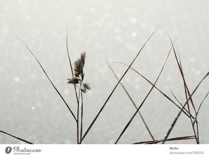 Immer noch kalt Natur Pflanze Winter ruhig Schnee Gras Eis Stimmung glänzend Wetter Umwelt Wachstum Frost Klima rein