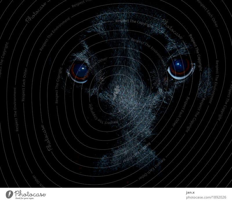 Tonhöhe Hund 1 Tier Blick Freundlichkeit schwarz ästhetisch elegant seriös Ich beobachte dich. Farbfoto Innenaufnahme Menschenleer Kunstlicht Low Key