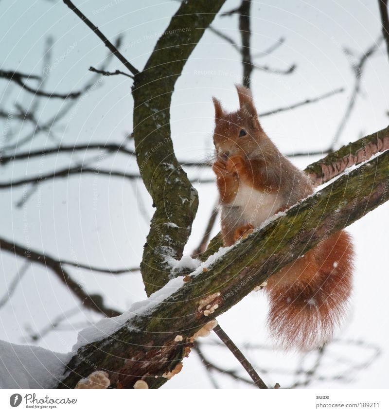 Eishörnchen Umwelt Natur Tier Urelemente Luft Himmel Wolkenloser Himmel Winter Klima Schnee Baum Fell Wildtier 1 Fressen sitzen authentisch klein natürlich