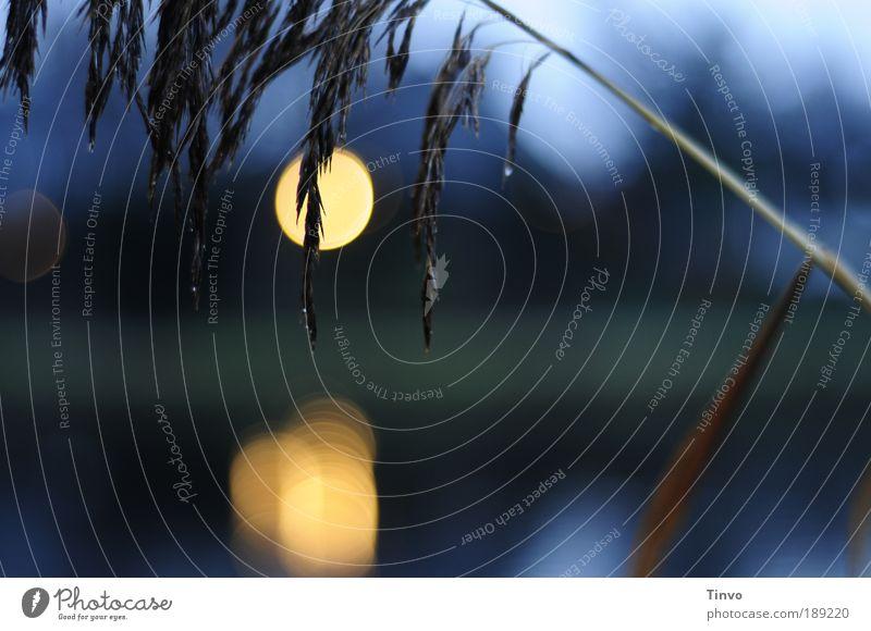 blue autumn blau Pflanze Einsamkeit dunkel Gefühle Gras Traurigkeit Stimmung Wassertropfen Hoffnung Trauer Sträucher leuchten Schilfrohr Abschied