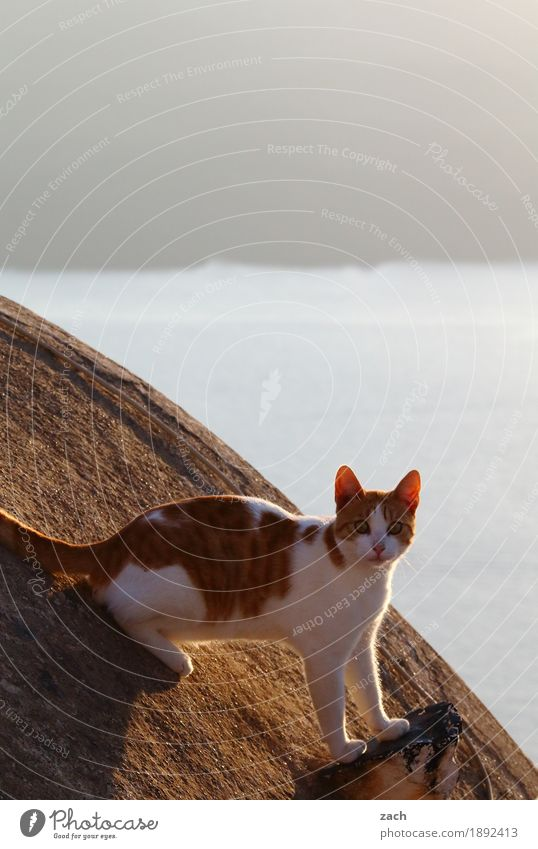 Auf Beobachtungsmission Felsen Vulkan Meer Mittelmeer Ägäis Insel Santorin Griechenland Kykladen Dorf Altstadt Hauskatze Tier Caldera Farbfoto Außenaufnahme