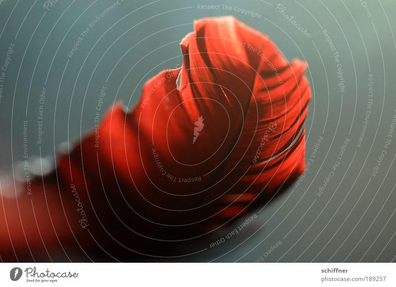 Feuerfeder schön Sonne rot Farbe Hoffnung Romantik Feder Kitsch Sehnsucht natürlich Warmherzigkeit Natur Neugier Leidenschaft exotisch Vogel