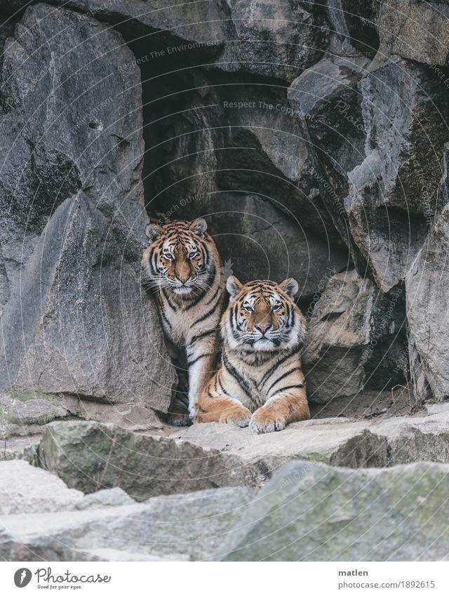 posing Felsen Tier Wildtier Tiergesicht Fell 2 braun grau Tiger Paar Körperhaltung Wachsamkeit warten Farbfoto Gedeckte Farben Außenaufnahme Nahaufnahme