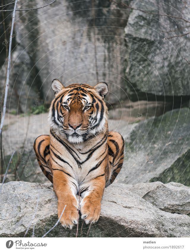 Mieze Felsen Menschenleer Tier Tiergesicht Fell Pfote 1 beobachten sitzen braun grau Tiger Farbfoto Außenaufnahme Textfreiraum links Textfreiraum rechts