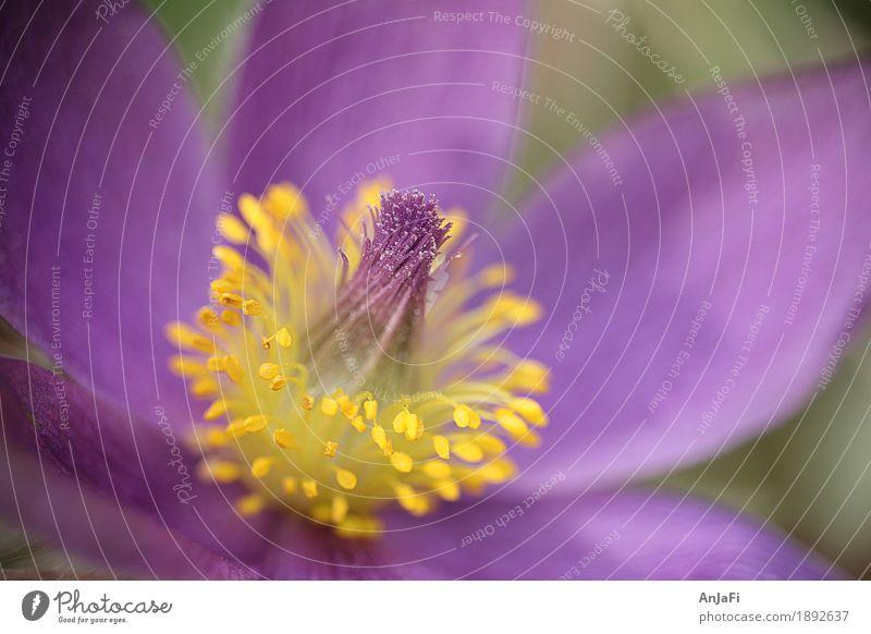 Schellenpuschel Natur Pflanze Blume Blüte Wildpflanze Garten ästhetisch Duft nah natürlich blau gelb Frühlingsblume Frühblüher Puschel Pollen Pollenflug