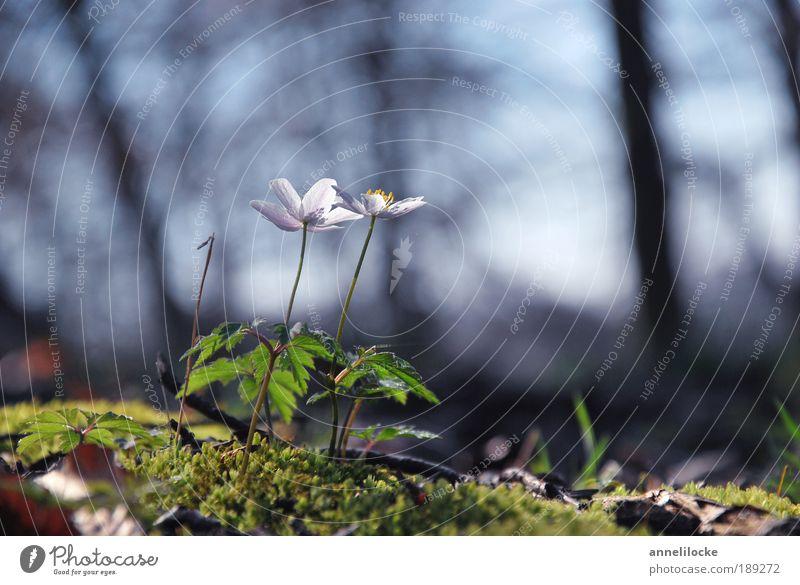 Zwei im Wald Umwelt Natur Landschaft Pflanze Erde Frühling Klima Schönes Wetter Baum Blume Moos Blatt Blüte Wildpflanze Anemonen Park schön zart zerbrechlich