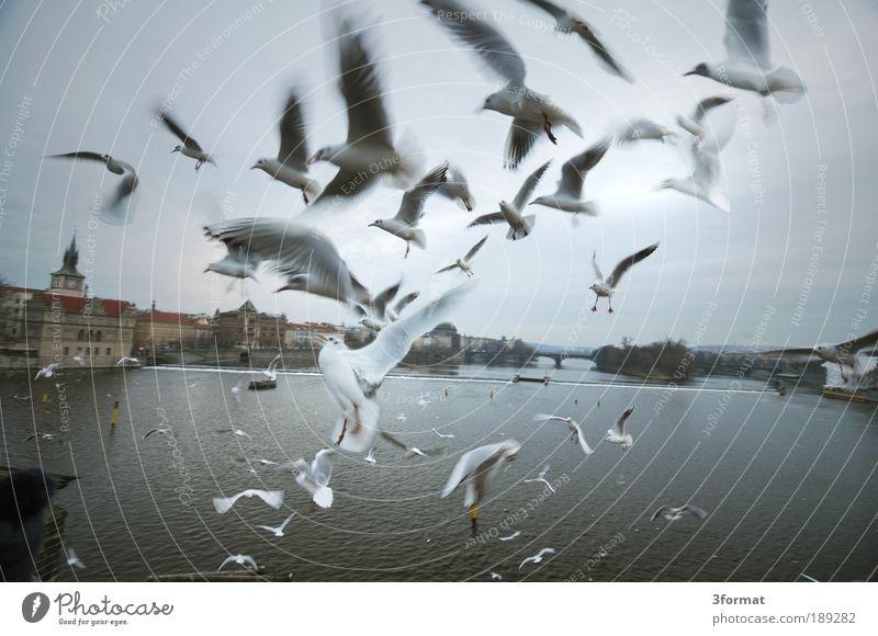 karlsbrücke Himmel Stadt Ferien & Urlaub & Reisen Winter Herbst Vogel fliegen Tourismus Luftverkehr verrückt Brücke Flügel Tiergruppe Romantik Tschechien Fluss