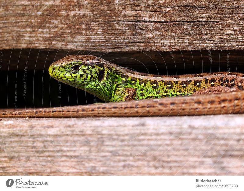 Eidechse Echte Eidechsen Mauereidechse Waldeidechse Zauneidechse Echsen Sonnenbad Reptil Schuppen schillernd grün Nahaufnahme Amphibie Tier Wildtier Wirbelsäule