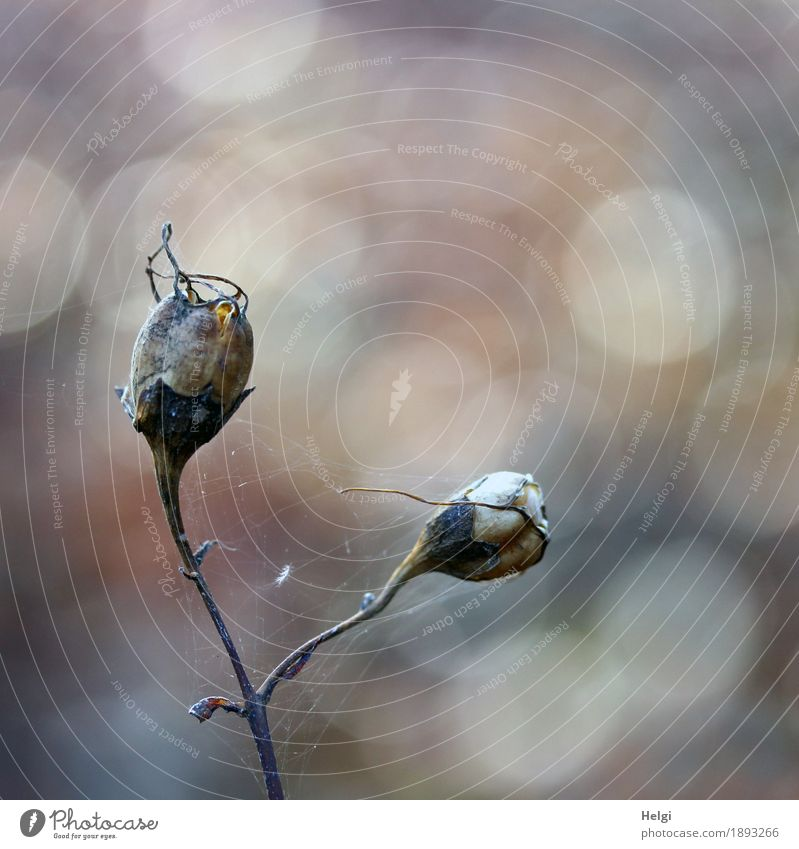 vergänglich ... Umwelt Natur Pflanze Herbst Stengel Samen Park alt stehen dehydrieren authentisch einzigartig klein natürlich braun grau Stimmung standhaft