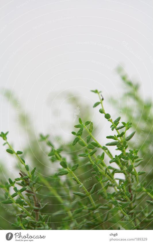 Thymian vom feinsten Natur Pflanze Blatt Nutzpflanze frisch lecker natürlich grün weiß Gesundheit Küchenkräuter Farbfoto Nahaufnahme Detailaufnahme