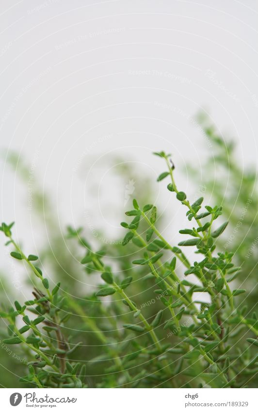 Thymian vom feinsten Natur weiß grün Pflanze Blatt Ernährung Kräuter & Gewürze Gesundheit frisch natürlich lecker Nutzpflanze Küchenkräuter