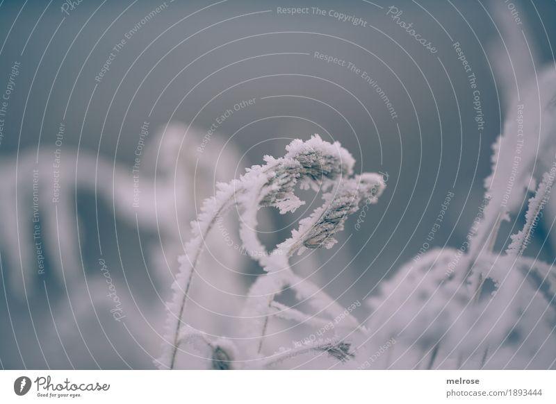 vor Kälte gekrümmt elegant Umwelt Natur Winter Klima Wetter Nebel Eis Frost Schnee Pflanze Gras Sträucher Farn Wildpflanze Feld Eiskristall kalt Schneekristall
