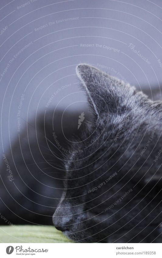 zuhause... Tier Haustier Katze 1 liegen schlafen grau silber Hauskatze Sofa Müdigkeit Ruhepause Schläfchen Schlaf Ton-in-Ton Moritz carölchen Katzenkopf