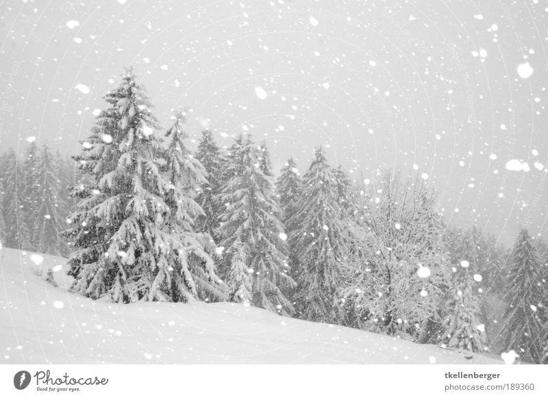 der Fall des Winters Umwelt Natur Luft Wasser Wolken Klima schlechtes Wetter Wind Sturm Eis Frost Schnee Schneefall Pflanze Baum Wald Holz frieren kalt ruhig