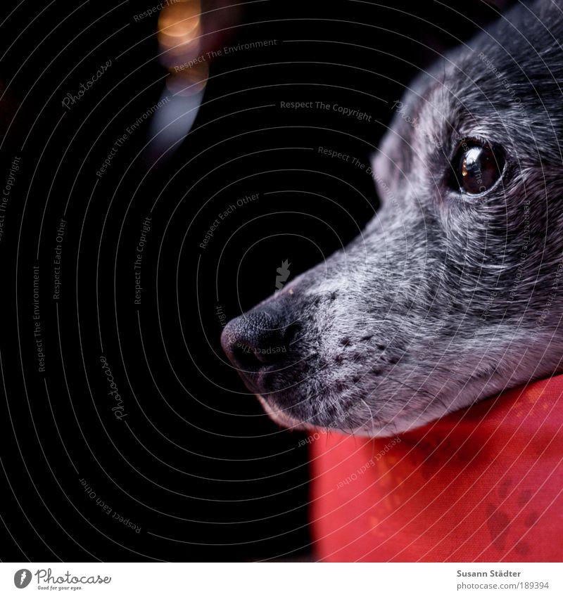 Axel Haustier Hund Tiergesicht 1 beobachten weich Blendenfleck Lichtspiel Fenster Schnauze Fell träumen Hundeblick Hundekorb rot Pfote Treue grau alt grauhaarig