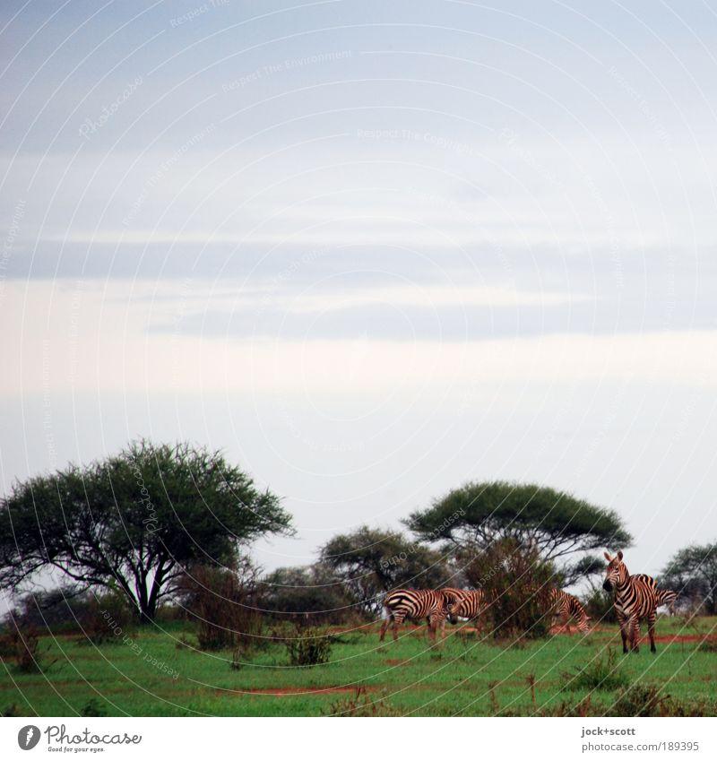 Zebragruppe Himmel Ferien & Urlaub & Reisen Baum Erholung Tier Umwelt Wiese natürlich Freiheit Zusammensein Wildtier frei Sträucher warten beobachten Tiergruppe