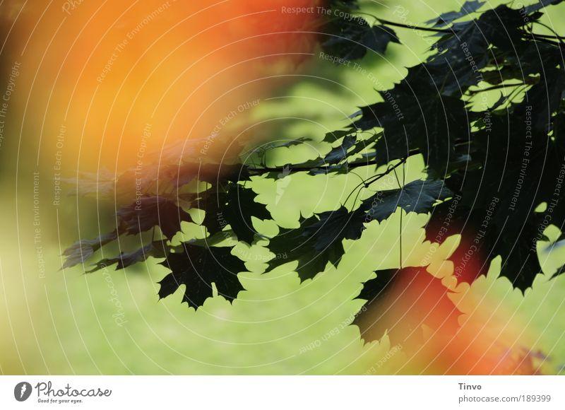 durch die Blume... grün Sommer Blatt Wärme Wiese Park orange Tiefenschärfe Ahornblatt Zweige u. Äste dunkelgrün
