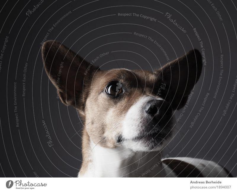 Jack Russell Terrier Studioaufnahme Mensch Haustier Hund 1 Tier Freundlichkeit klug Wachsamkeit Portrait Werkstatt animal Hintergrundbild brown copy cute dog