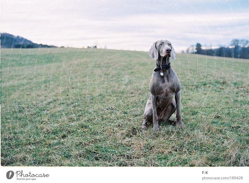 majestätisch Hund Himmel Natur blau grün Landschaft Wolken Tier Winter kalt Wiese Gras grau elegant Kraft ästhetisch