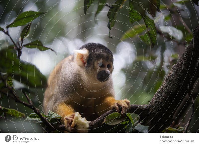 Herr Nilsson Natur Baum Blatt Tier Umwelt natürlich Wildtier niedlich exotisch Tiergesicht Affen Tierliebe