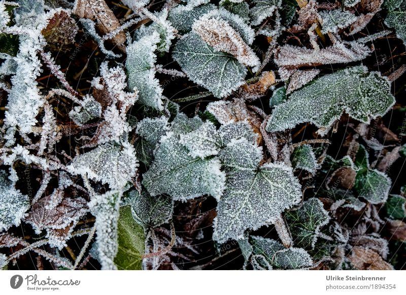 Raureif 3 Natur Pflanze grün Blatt Winter Umwelt kalt Wiese natürlich Garten Park Wetter glänzend liegen Wachstum Erde