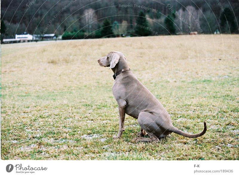 Späher elegant Jagd Tier Haustier Hund 1 beobachten Blick warten ästhetisch braun grau grün Winter Natur Landschaft Waldrand klug Wiese Spaziergang Gassi gehen