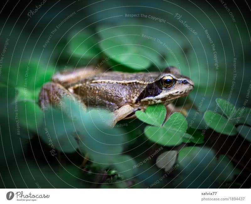 Glücksfröschli Natur Pflanze Sommer grün Blatt Tier Wald Umwelt Herbst Wege & Pfade braun Erde Wildtier Perspektive genießen