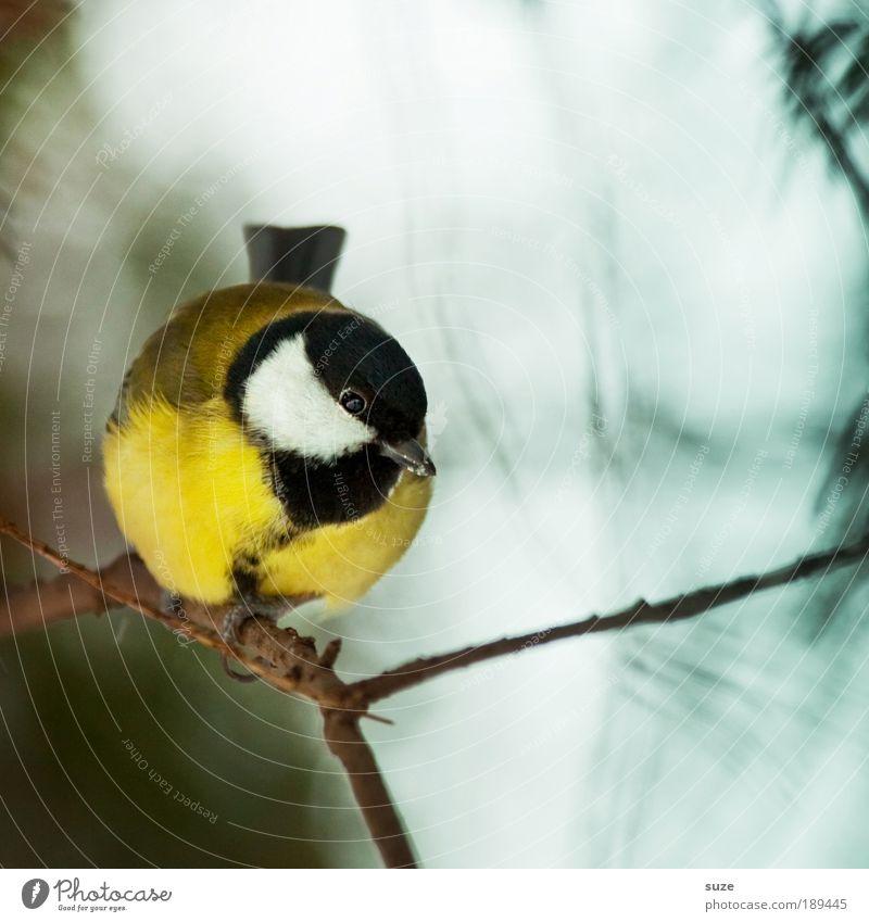 Kleiner Meisenmann Natur Tier Wildtier Vogel 1 klein Neugier niedlich schön gelb Kohlmeise Gesang Singvögel Zweig Schnabel Ornithologie singen Feder gefiedert