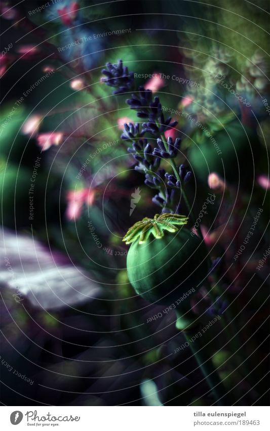 blumt so schön. Natur Pflanze dunkel Blüte Garten Blume Dekoration & Verzierung Vergänglichkeit wild natürlich Blühend Duft Mohn Blumenstrauß Lavendel