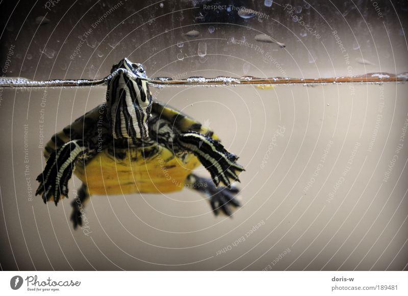 schmuckschildkröte 1 ästhetisch außergewöhnlich exotisch Schildkröte Wasserschildkröte Aquarium Streifen gelb Im Wasser treiben Wasseroberfläche atmen schön