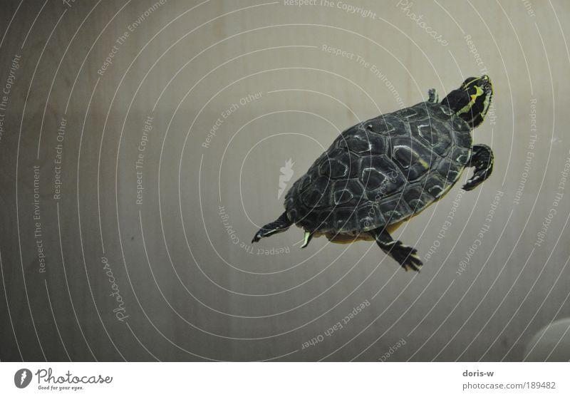 schmuckschildkröte 2 ästhetisch Schildkröte Wasserschildkröte Aquarium Streifen gelb Im Wasser treiben Wasseroberfläche atmen schön Haustier Schildkrötenpanzer