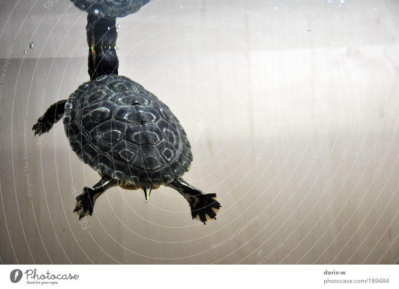 schmuckschildkröte 3 ästhetisch exotisch Schildkröte Wasserschildkröte Aquarium Streifen gelb Im Wasser treiben Wasseroberfläche atmen schön Haustier