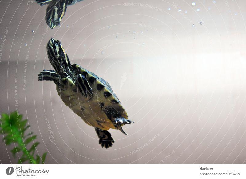 schmuckschildkröte 4 ästhetisch exotisch Schildkröte Wasserschildkröte Aquarium Streifen gelb grün Im Wasser treiben Wasseroberfläche atmen schön Haustier