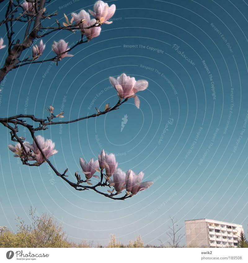 Bald ... Umwelt Natur Landschaft Pflanze Luft Wolkenloser Himmel Frühling Klima Wetter Schönes Wetter Wärme Sträucher Blatt Blüte Magnolienbaum Magnolienblüte