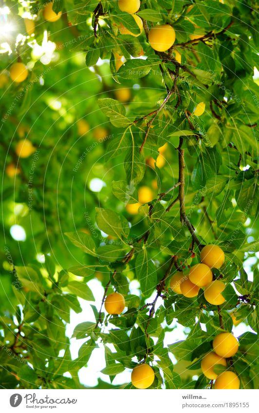 reife Mirabellen am Baum Sommer Frucht Mirabellenbaum Pflaume Vitamin Gesunde Ernährung Kalium Obstbaum gelb grün Farbfoto Außenaufnahme
