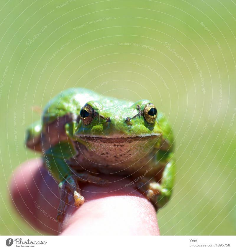 Grüner Frosch Natur Sommer Farbe grün weiß Einsamkeit Tier Umwelt gelb Frühling natürlich Gras klein springen Wildtier nass