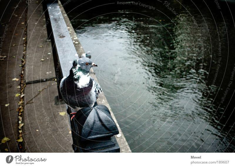 dove dive down Natur Wasser Stadt grün blau Sommer Tier Herbst Vogel Angst warten Brücke Fluss Neugier Wildtier Taube