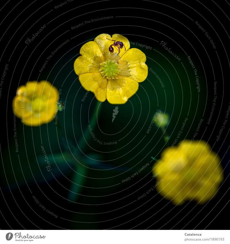 Tod einer Ameise Natur Pflanze Tier Sommer Schönes Wetter Blume Hahnenfußgewächse Sumpf-Dotterblumen Wiese Blühend liegen natürlich braun gelb grün schwarz