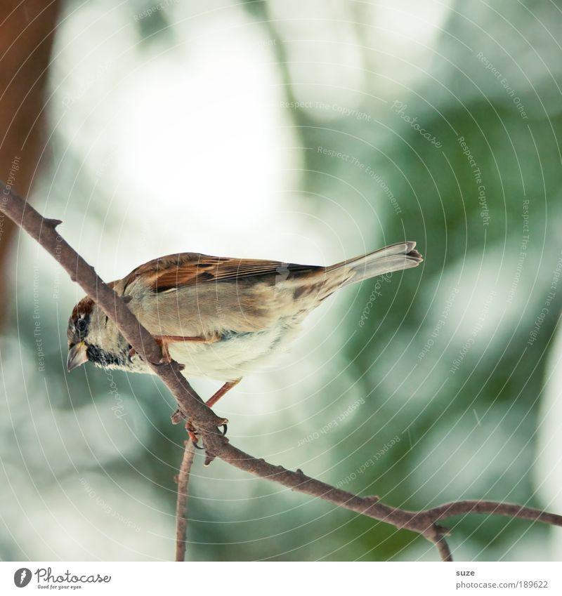 Denkste --> grün Tier Winter klein Garten braun Vogel sitzen Wildtier warten niedlich Feder Zweig Schnabel singen Lied
