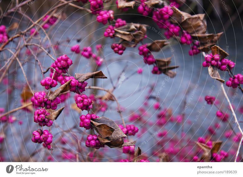 Natur Pflanze Freude Winter Blatt Farbe braun rosa elegant Frucht ästhetisch Coolness Sträucher authentisch einfach