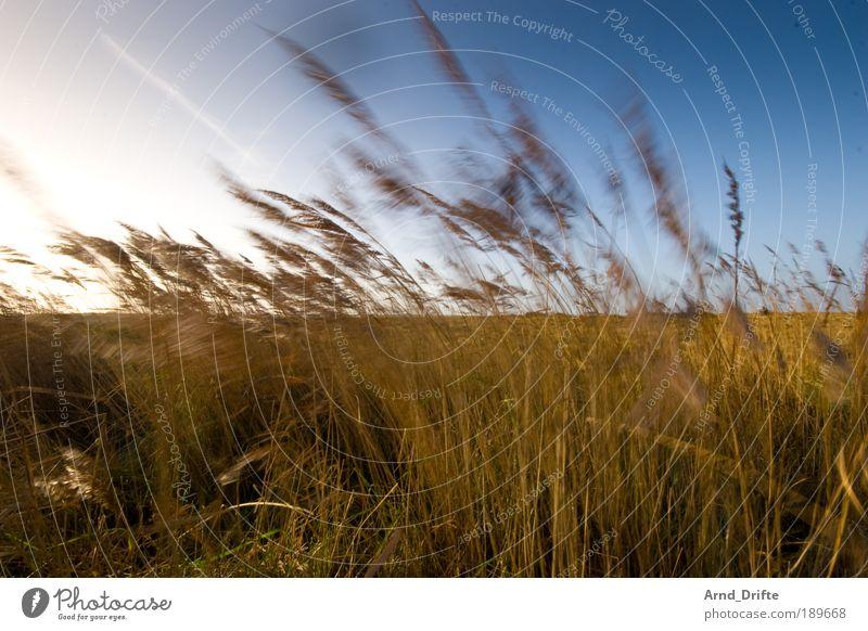 Dünengras Natur Himmel blau Pflanze Winter ruhig Einsamkeit Gras Landschaft braun Küste Wind Gegenlicht Sträucher Schleswig-Holstein Halm