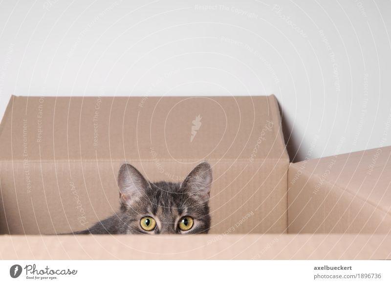 Katze im Karton Tier Haustier Tiergesicht 1 Tierjunges beobachten Spielen Auge Pappschachtel Versteck verstecken Angst Blick Überwachung Hauskatze grau Neugier