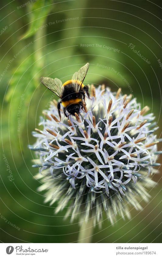 ° Natur Ferien & Urlaub & Reisen Pflanze Sommer Tier Umwelt Blüte Wildtier wild natürlich Ausflug Flügel berühren Biene entdecken Ernte