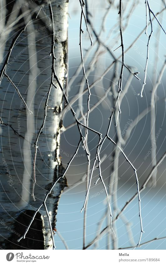 Rapunzel Natur Baum blau Pflanze Winter kalt Eis Stimmung Umwelt frisch Wachstum Frost Klima Ast natürlich Idylle