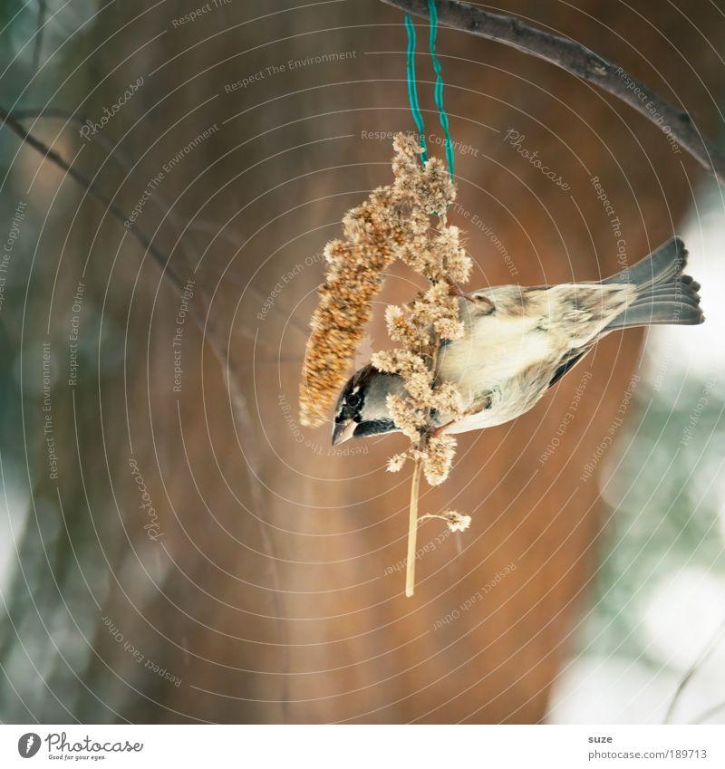 Vogelfutter Tier Winter klein braun Wildtier niedlich Feder Zweig hängen Fressen Schnabel singen füttern Spatz Tierliebe