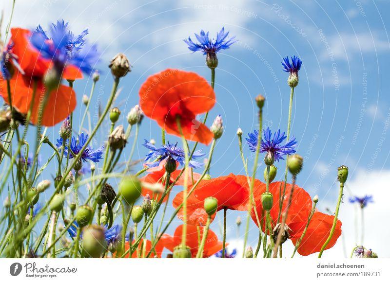 blauweißrot Umwelt Natur Pflanze Himmel Frühling Sommer Klima Schönes Wetter Blume Gras Blatt Blüte Wiese Feld Mohn Mohnblüte Klatschmohn Kornblume Nahaufnahme